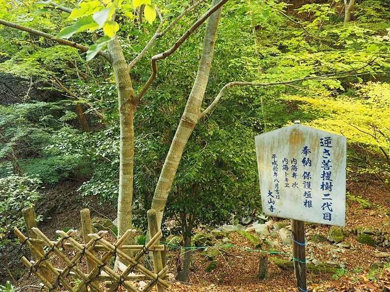 画像:逆さ菩提樹